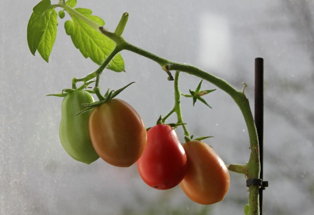 unsere tomaten auf dem fensterbrett paradiser. Black Bedroom Furniture Sets. Home Design Ideas